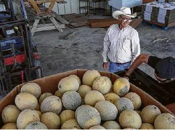 Famed Pecos Cantaloupe Faces Extinction Houston Chronicle 8 18 2019 Cantaloupes hide their true identity. famed pecos cantaloupe faces extinction